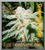 Grapefruit Tangie Seeds - Leafy Cannabis Strain Attitude Flavour Chasers